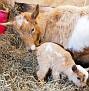s12 goats-8