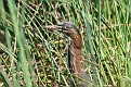 Immature Green Heron #9
