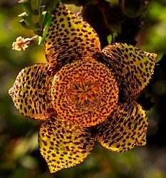 Orbeca variegata