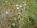 Ophrys oestrifera (8)