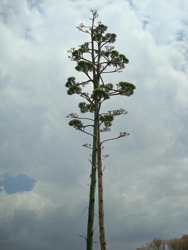 Agave americana Φιλοπάππου 30 06 2010 (4)