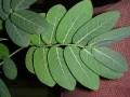 Phyllanthus mirabilis leaf