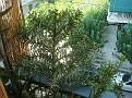 Euphorbia stenoclada ssp. stenoclada