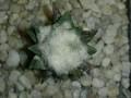 Ariocarpus scapharostris