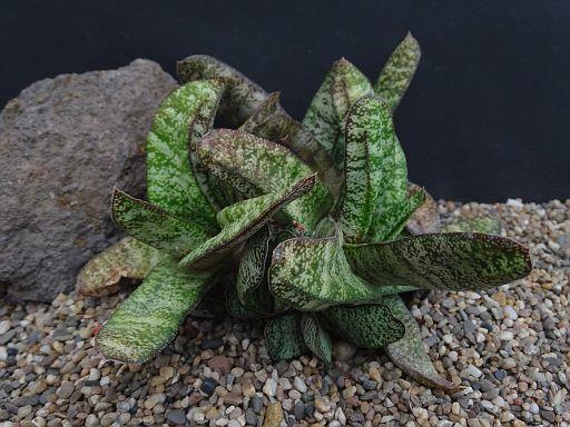 Gasteria bicolor v. fallax Table
