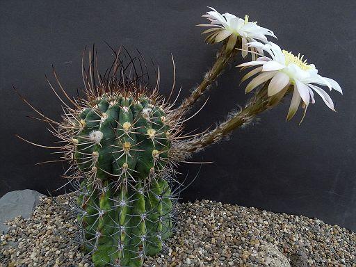 Echinopsis catacajesii