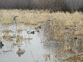 Decoy Setup on Flooded Pasture 12011