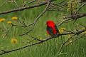 Scarlet Tanager #10