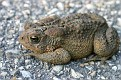 American Toad #4