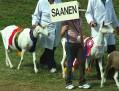 Grand Parade 003 Saanen Goats