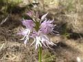 Orchis italica (2)