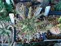 Euphorbia astrophora sp  nov