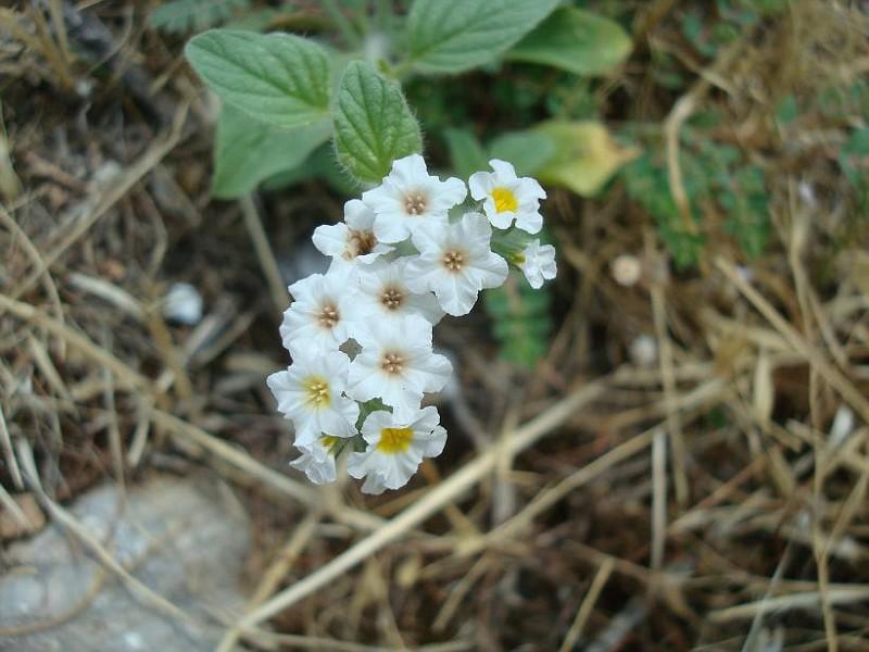 Heliotropium sp (1)