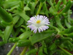 Mitrophyllum abreviatum