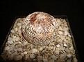 Astrophytum myriostigma cv. Onzuka 'Ball' type