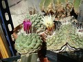 Strombocactus disciformis - Strombocactus disciformis ssp esperanzae (5)