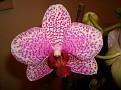 Phalaenopsis 'Brother Little Spotty'