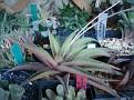 'Jade Star' -H koelmaniorum x H umbomboensis