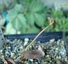 Drimia platyphylla anomala - DMC10854  S. of Schoemanshoek