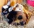 s12 goats-6