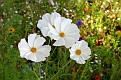 White Cosmos Grouping