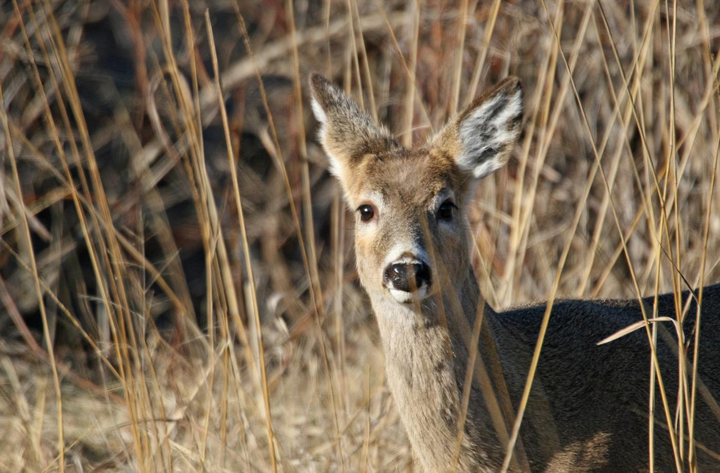 Juvenile Through the Grass