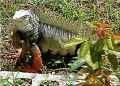 iguana   ep