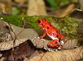 Red Dart Frog