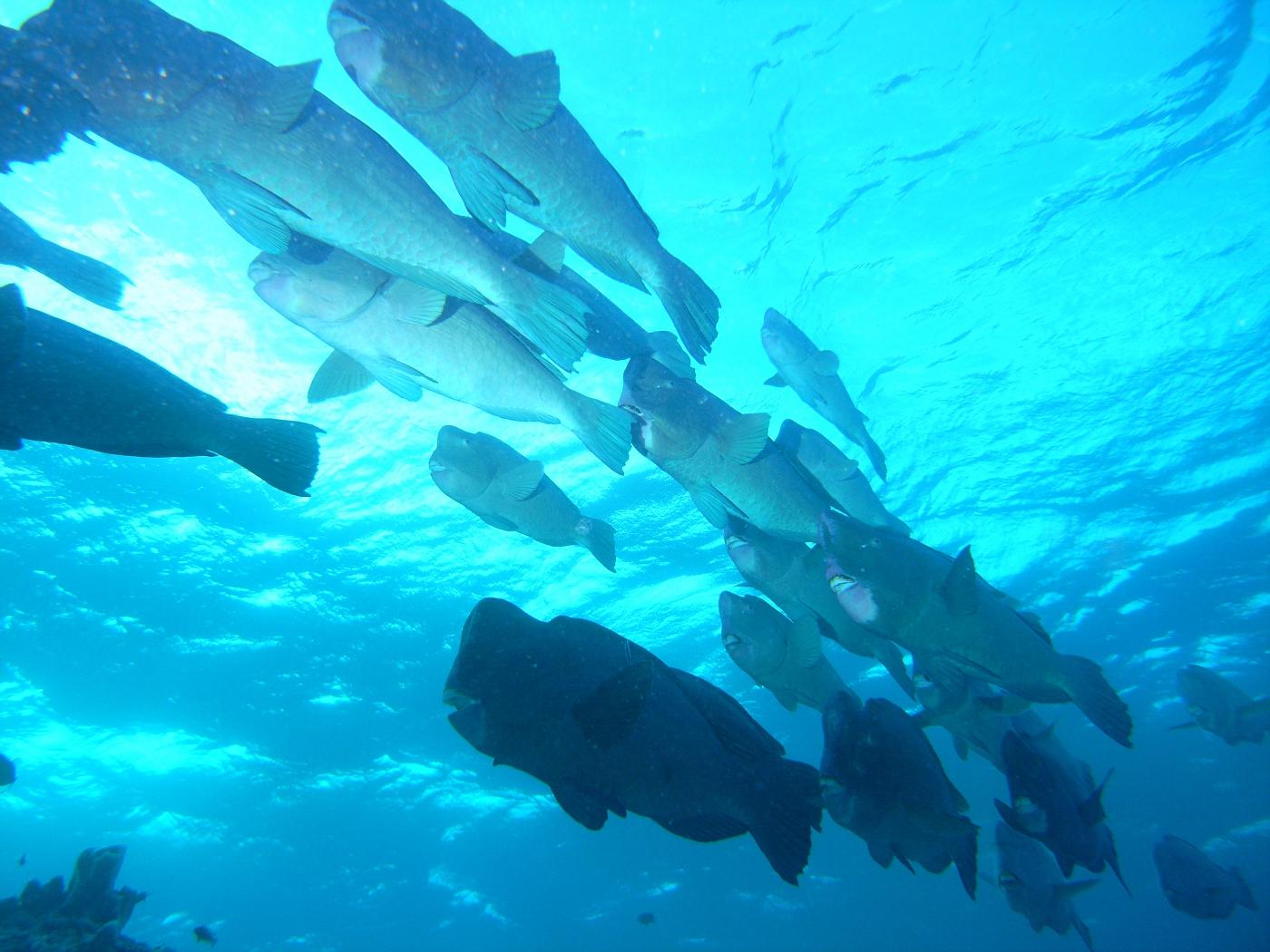 Giant Bumbhead Parrotfish