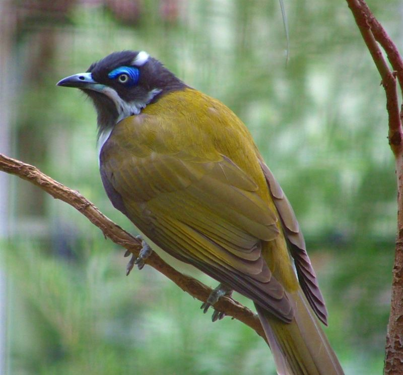 Blue faced honeyeater 001