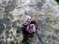 Anchusa variegata (5)