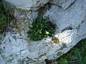Biarum tenuifolium (7)