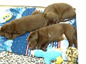 March 21 2012 Callie pups (2)
