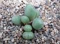 Conophytum carpianum Dooringpoort ?