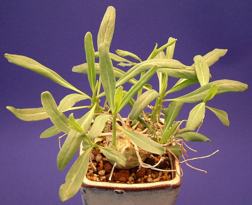 Euphorbia longituberculosa