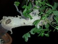 Commiphora kataf -ES4017 Arabia & East Africa