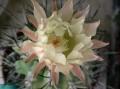Eriosyce paucicostata ( Neoporteria paucicostata )