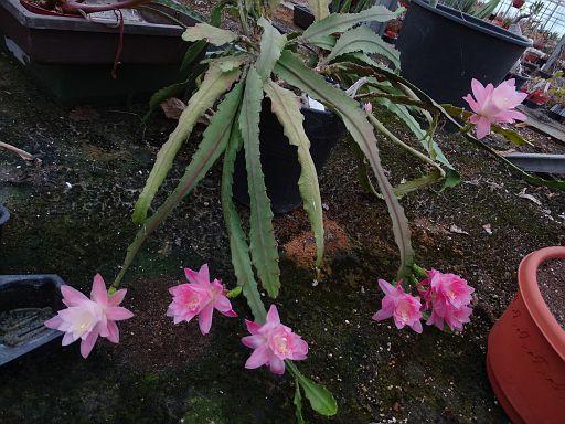 e1 Some Epi flowers