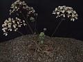 Pelargonium caroli-henrici. Nuwerus