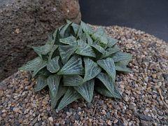 Haworthia 'Green Haze Daruma'