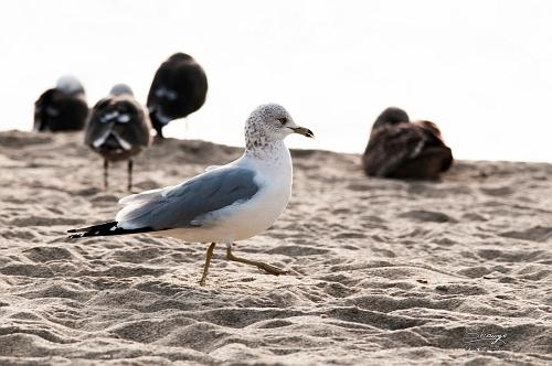 Ring-billed Gull (Larus delawarensis)_0754